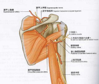 肩甲上神経の走行